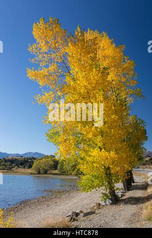 Wanaka, Otago, New Zealand. Poplars growing on the shore of Lake Wanaka at Glendhu Bay, autumn. - Stock Photo