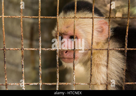 White Faced/White Headed Capuchin Monkey In Cage - Stock Photo
