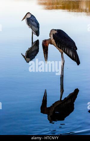 Marabou Storks (Leptoptilos Crumenifer) Lake Awassa, Ethiopia - Stock Photo