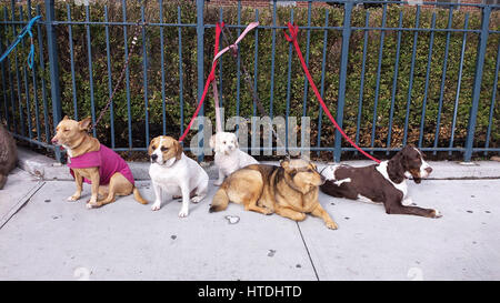 New York City, USA. 10th March 2017. A group of dogs check out the action on West 23rd Street in the Chelsea section - Stock Photo