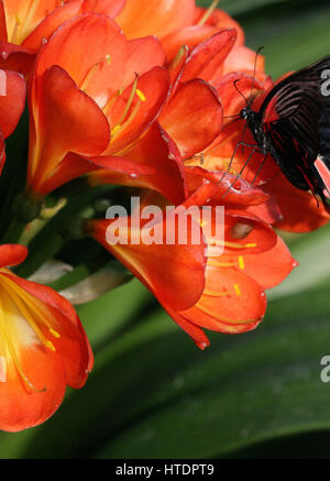 Papilio rumanzovia, black and red tropical butterfly feeding on flowers.Full frame. Colour contrast. Macro photography. - Stock Photo