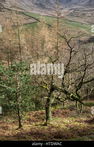Trees on the side of Shire Hill near Glossop in Derbyshire on an early spring day. - Stock Photo