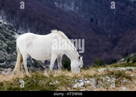 Wild white mustang horse, feeds of a snowy field - Stock Photo