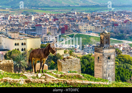 Donkey at the city walls of Fes - Morocco - Stock Photo