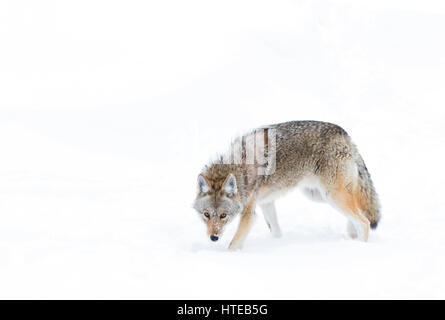 A lone coyote (Canis latrans) isolated against a white background standing in the winter snow in Canada - Stock Photo