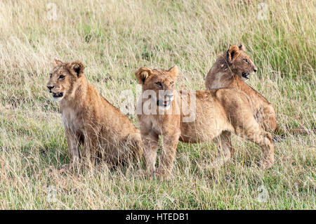 Young Lion Cubs Wait for Mum in the Masai Mara National Park, Kenya - Stock Photo