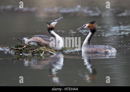 Courting Great Crested Grebes (Podiceps cristatus) at nest, Hesse, Germany - Stock Photo