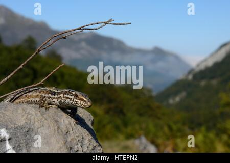 Common wall lizard (Podarcis / lacerta muralis) sun basking on a limestone rock in a mountain valley at 1500m, Picos - Stock Photo