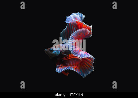 Thailand  fighting fish, isolated on black background. Capture the moving moment of siamese fighting fish. - Stock Photo