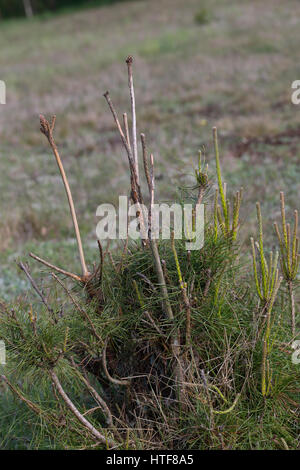 Verbiss durch Reh, Reh-Wild, Spuren der Nahrungssuche, Verbiss-Schaden an Kiefer, Capreolus capreolus, roe deer - Stock Photo