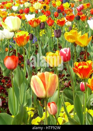 Spring tulip flowers in bloom at the Sigurtà park, Veneto, Italy - Stock Photo