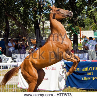 PYATIGORSK, RUSSIA - August 25 2012:18 international rally racing Akhal-Teke horses. - Stock Photo