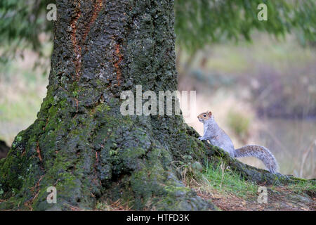 A grey squirrell resting at the base of a tree side view trunk woodland eastern sciurus carolinensis North America - Stock Photo