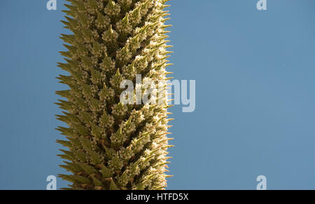 Detail of a flowering Puya Raimondii, an endemic plant of Peruvian highlands. Also known as Queen of the Andes. - Stock Photo