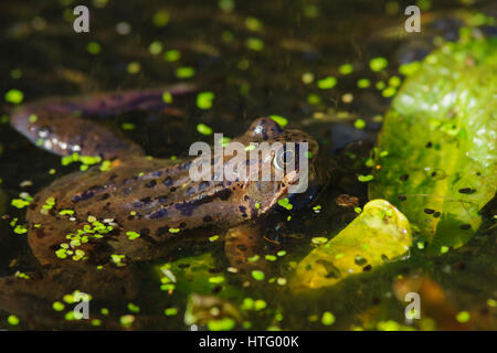 Wild common Frog (Rana temporaria) hiding among lilies surrounded by frog spawn in a pond - Stock Photo