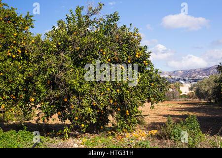 orange trees plantations. Ripe and fresh oranges hanging on branch - Stock Photo