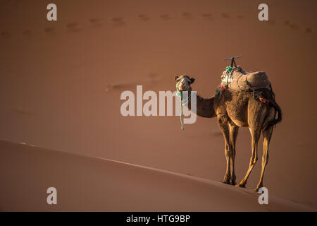 Camel at sunset on the dunes of the Sahara Desert in Merzouga - Morocco - Africa - Stock Photo