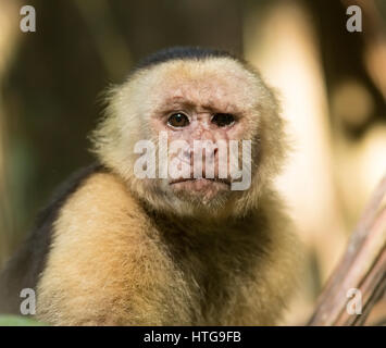 Portrait head shot of a very old Capuchin White Faced Monkey - Stock Photo
