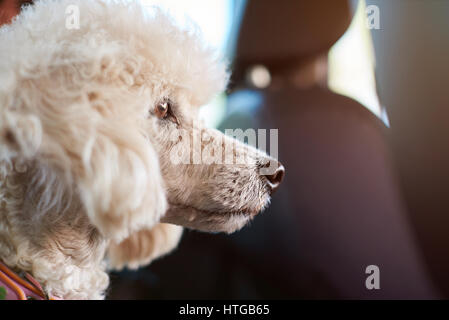 Poodle dog in car closeup. Portrait of travelling poodle dog - Stock Photo