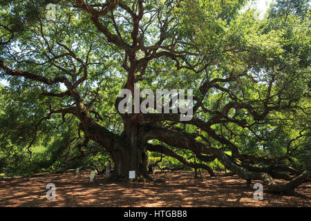 Angel oak (Southern live oak (Quercus virginiana)) near  Charleston, South Carolina - Stock Photo