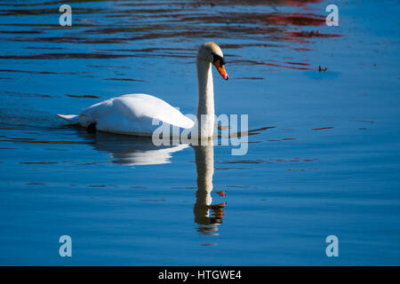 Aberystwyth Wales Uk, Wednesday 15 March 2017 UK Weather: A beautiful white swan paddles gracefully on the calm - Stock Photo