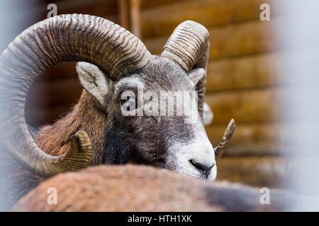 Wild sheep. Ovis ammon captive. Wild animal. Clouseup. - Stock Photo