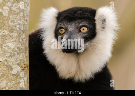 Black-and-white ruffed lemur (Varecia variegata) portrait. Critically endangered lemur endemic to the island of - Stock Photo