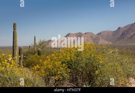Yellow daisy desert wildflower in America's Southwest.  Location is Picacho Peak State Park, Eloy, Arizona, USA. - Stock Photo