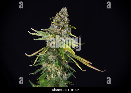 Detail of Cannabis cola (green crack marijuana strain) with visible hairs and leaves on late flowering stage - isolated - Stock Photo