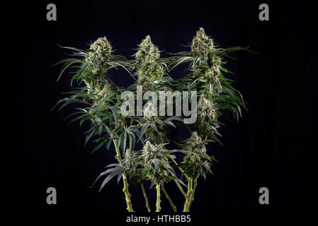 Detail of Cannabis cola (green crack marijuana strain) with visible hairs, trichomes and leaves on late flowering - Stock Photo