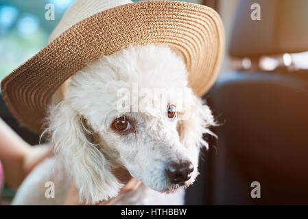 White poodle dog in hat sitting in car. Poodle dog get ready for vacations - Stock Photo