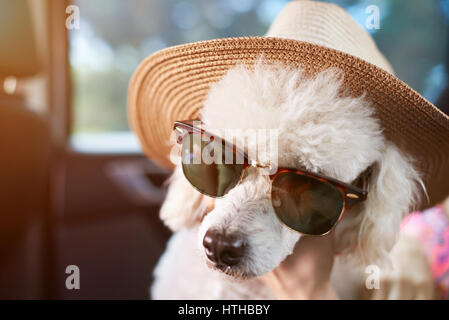 Poodle dog in sunglasses with hat travelling in car. Cute poodle ready for vacation - Stock Photo