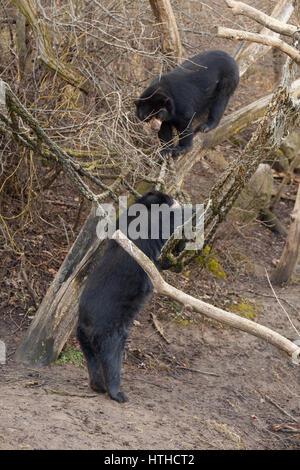 Spectacled bear (Tremarctos ornatus)Vienna Zoo, Tierpark Schoenbrunn, Vienna, Austria, Europe. - Stock Photo