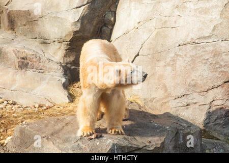 Polar Bear (Ursus maritimus)Vienna Zoo, Tiergarden Schoenbrunn , Vienna, Austria, Europe - Stock Photo