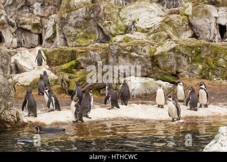 Humboldt penguin (Spheniscus humboldti), at Vienna Zoo, Tierpark Schoenbrunn, Vienna, Austria, Europe. - Stock Photo