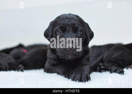 Black Labrador puppies - Stock Photo