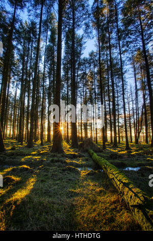 The sun shinning through the trees in a conifer woodland - Stock Photo