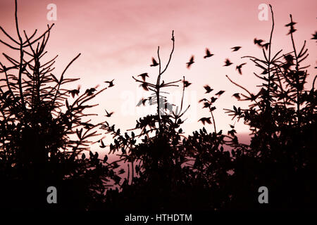 Starling coming into roost at dusk - Stock Photo