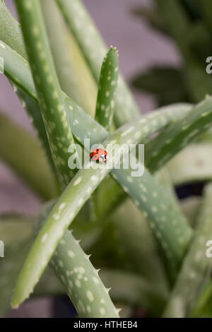 Lady bug on aloe vera branch. - Stock Photo