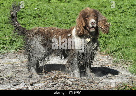 A naughty but very sweet English Springer Spaniel dog that has been swimming in a bog and then to finish the look - Stock Photo