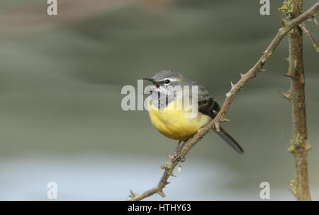 A stunning male Grey Wagtail (Motacilla cinerea) perched on a bramble. It was watching and displaying to the female. - Stock Photo