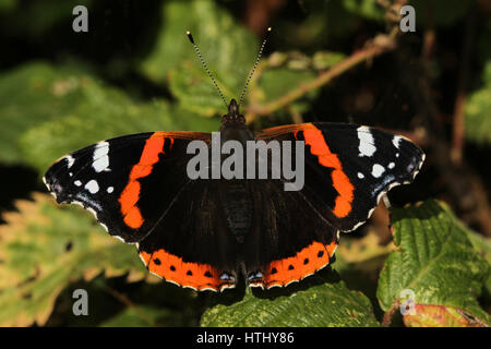A beautiful Red Admiral Butterfly (Vanessa atalanta) perched on a leaf with open wings. - Stock Photo