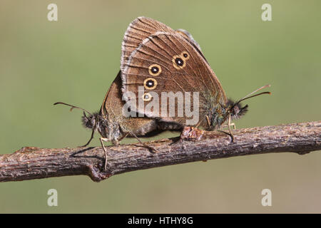 The side view of a mating pair of Ringlet Butterfly (Aphantopus hyperantus) perched on a twig with their wings closed - Stock Photo