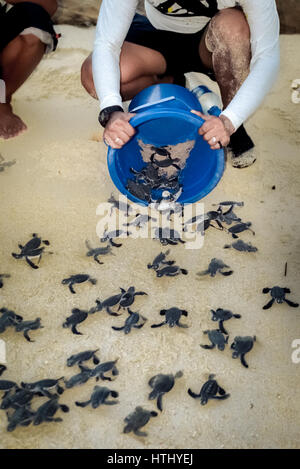 A man releases green sea turtle hatchlings in Sangalaki Island, Berau, East Kalimantan, Indonesia. - Stock Photo