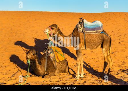 Dromedary camels resting at the Erg Chebbi dunes of Sahara desert. Merzouga, Morocco - Stock Photo