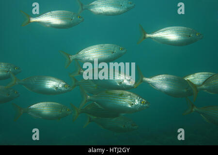 Selma porgy fish (Sarpa salpa) underwater in the Mediterranean Sea - Stock Photo