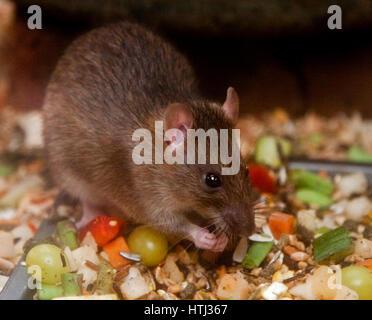 Norwegian Brown Rat (rattus norvegicus) Feeding - Stock Photo