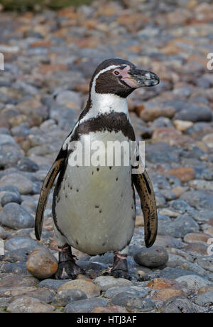 Humboldt Penguin (spheniscus humboldti) - Stock Photo