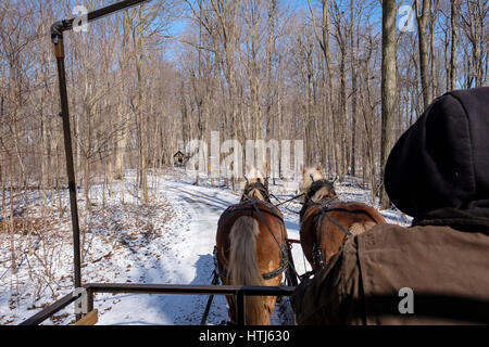 Pair of Belgian draft horses pulling a wagon on a snow covered trail flanked by maple trees in a maple syrup production - Stock Photo