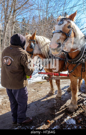 A man using a bucket to give food, water, to harnessed Belgian draft horses (Equus caballus) in a sunny Winter day - Stock Photo